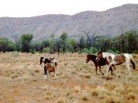 Wilde-Pferde